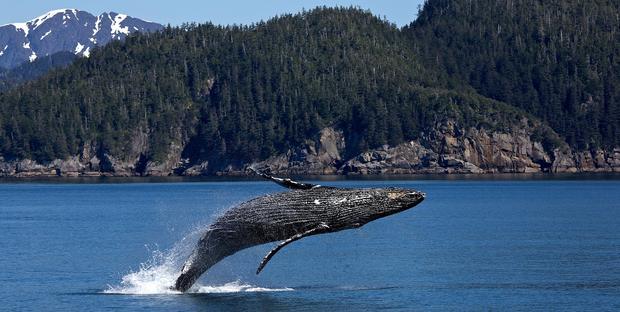 Caccia alle balene: il Giappone abbandona l'IWC